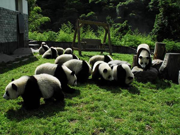 七十二变时尚探索雅安熊猫基地海多雨潮湿的气候常年以上约1000米