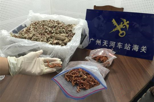 广州海关截获8.05公斤红珊瑚 价值近300万元