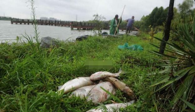 环保部回应:合肥湖泊鲢鱼大片死亡 天气炎热氧气减少