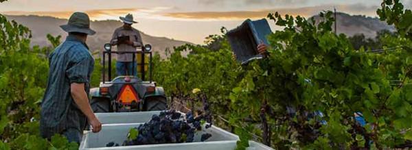 纳帕谷起泡名酒生产商率先开始采收2017年份葡萄果实