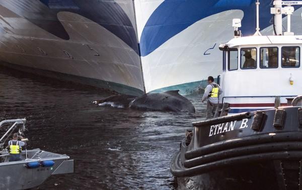 公主邮轮船头挂鲸尸行驶 2千多名乘客和1千多名船员无人察觉