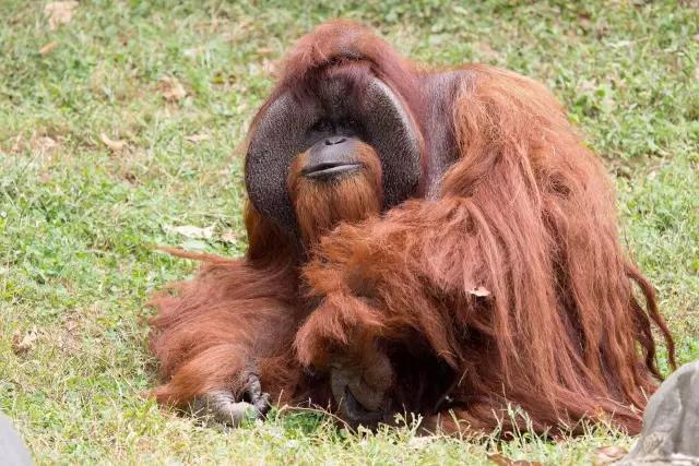 """上过大学的红猩猩去世 临终愿望是""""吃冰淇淋"""""""