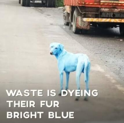 印度污染现蓝色狗 这个地方的动物都在饱受痛苦!