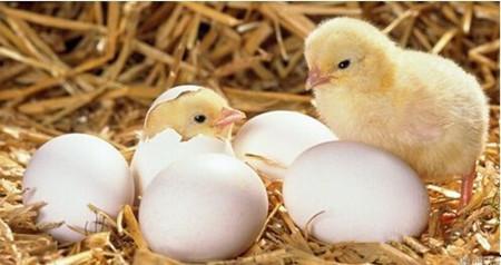 种蛋图片和介绍