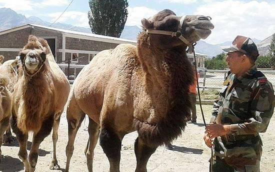 中印边境对峙:印军在中印边境引入双峰骆驼 帮助运送武器和物资