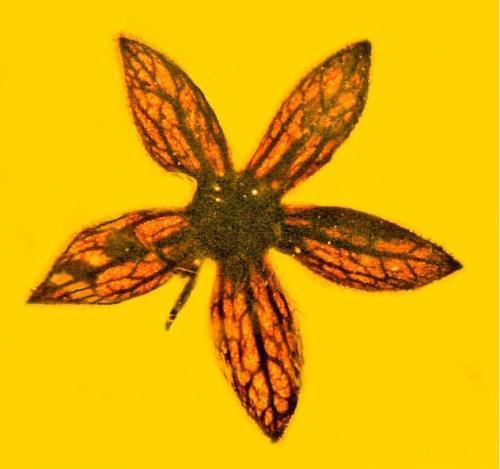 亿年缅甸琥珀惊现白垩纪小花 脉络清晰保存完整仿佛刚被采摘