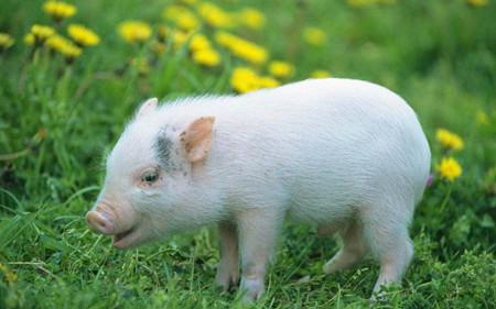 仔猪图片和介绍
