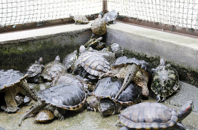 """郑州动物救助站""""龟满为患 放生需考虑生态平衡"""