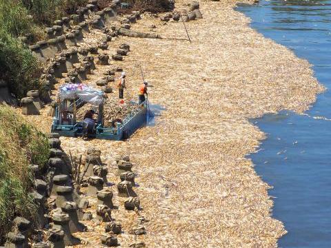 台湾高温致大片死鱼 连续高温创下1897年台北气象站站设站以来的纪录