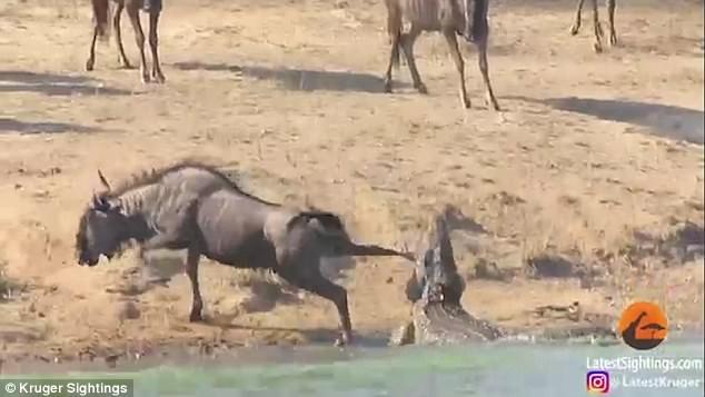 角马水边遭鳄鱼袭击 两头河马出手相救