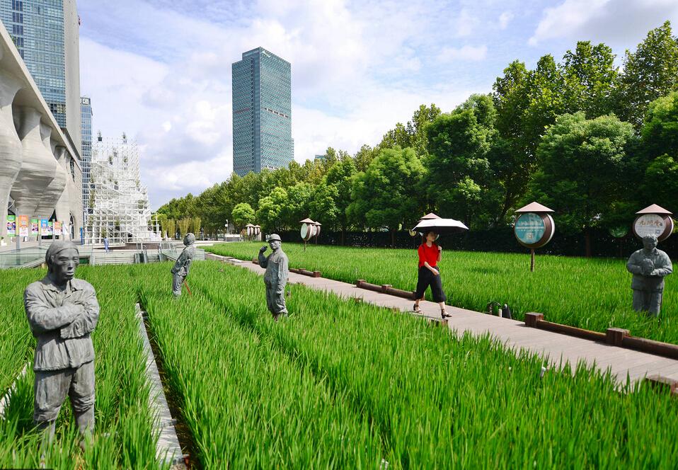 上海浦东新区现稻田