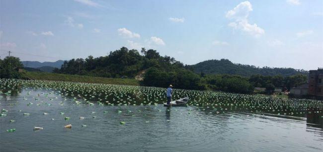 限养令频出 中国淡水珍珠养殖陷入进退两难困窘局面