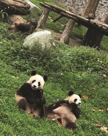 三只大熊猫今天上午乘飞机抵达南京