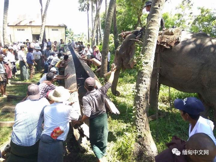 缅甸河里现巨型古董 打捞前惊动植物学专家!