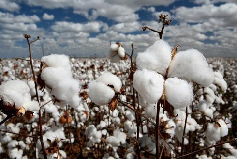 四季度棉价先抑后扬 预计11月前后迎恢复性上涨