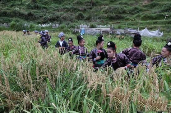 岑秋苗寨妇女在田间集体收割糯稻。