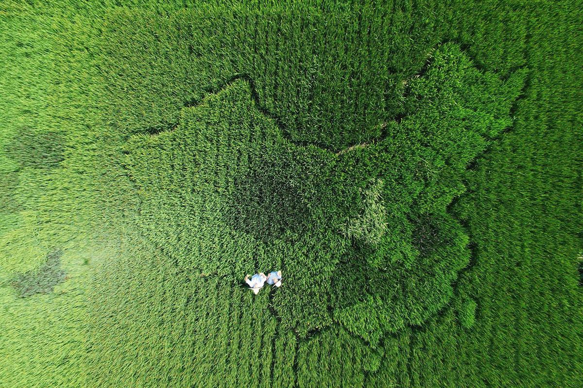 老人用水稻种出中国地图 表达对祖国的祝福
