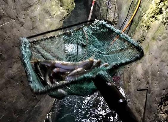 重庆挖出神秘鱼泉 一波涨水最多卖过12万多元