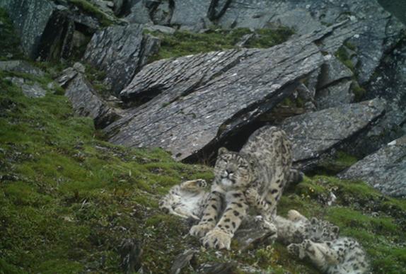四川首次拍到4雪豹同框 萌炸了!