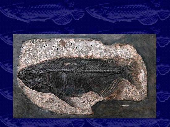 湖北最完整金龙鱼化石 骨骼纹路清晰可见
