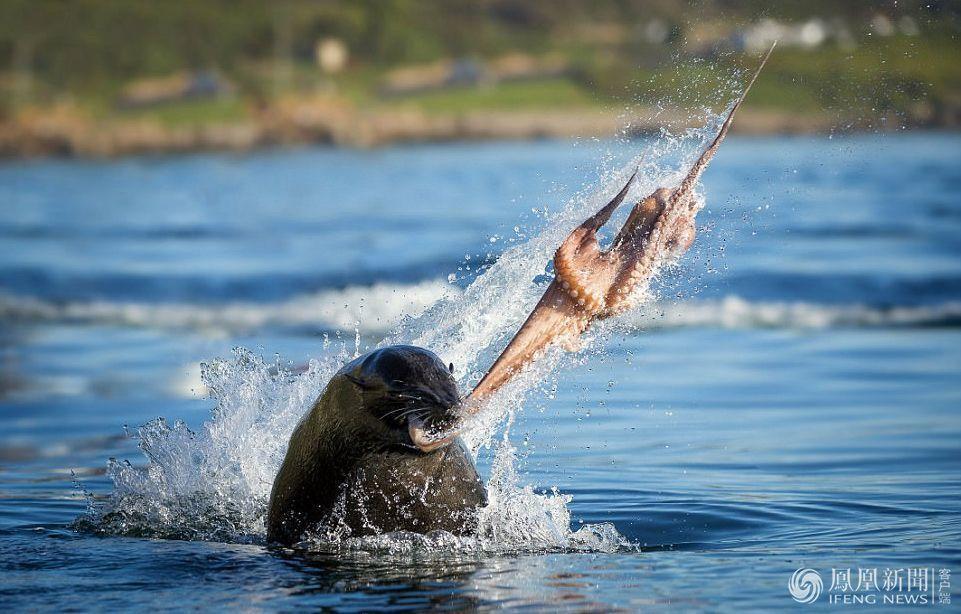 海豹撕碎章鱼惊险画面 在吞食章鱼之前将其分解成小块