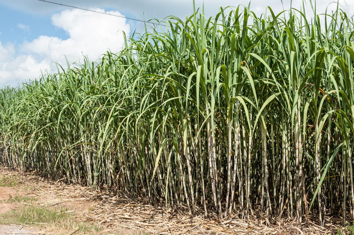 全球糖料种植面积大增 郑糖中长线大概率走低