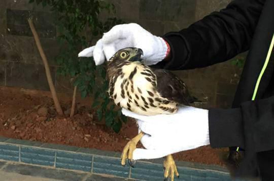 凤头鹰撞玻璃被救 系国家二级保护野生动物