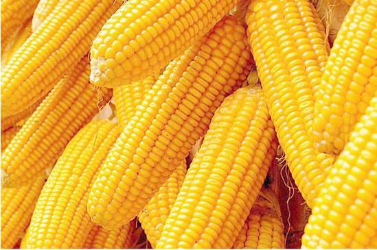 玉米价格走弱 下行空间有限