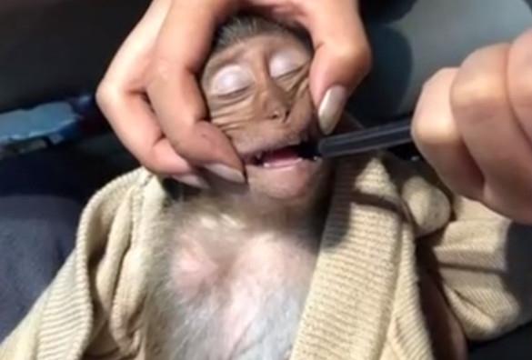 曼谷一猴子喝咖啡中毒 昏迷长达10个小时