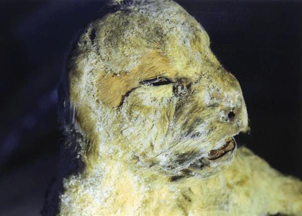 """日俄团队发现3只冰冻万年""""洞穴狮""""尸体"""