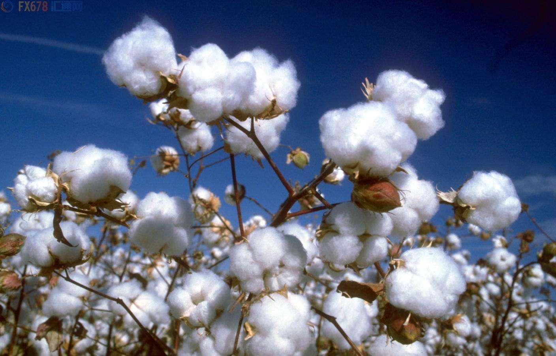 美棉出口强劲提振美棉价格