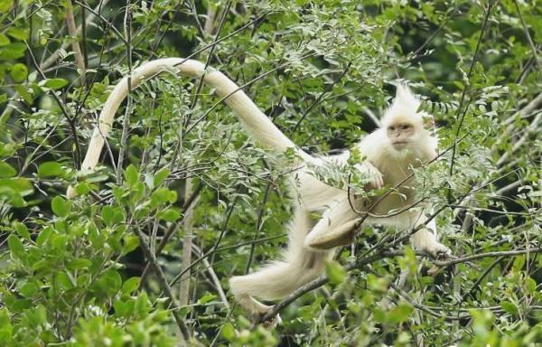 广西现白化黑叶猴 现全球仅2000只
