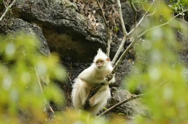 广西现白化黑叶猴 为国家一级保护动物
