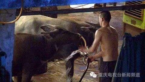 屠宰场锤杀活牛 1头牛注水60斤