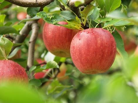 影响苹果期货价格的因素