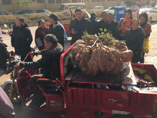 四川简阳红薯成精 红薯重量高达238斤!