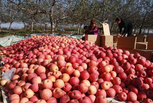 苹果期货上市对农户有什么好处?(下)