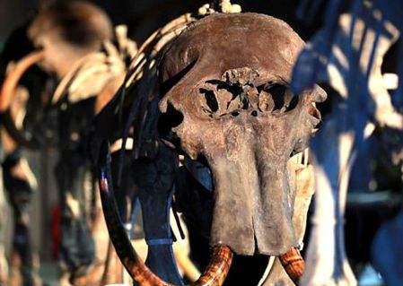 猛犸象遗骸将拍卖 距今15000年历史