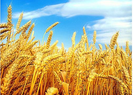 美国天气干燥 小麦期价受压制