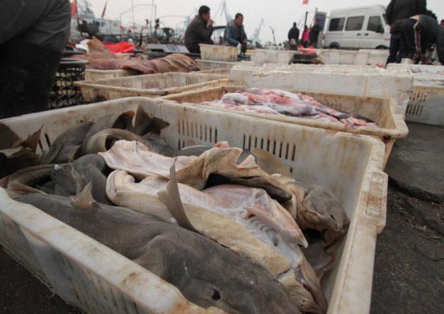 青岛码头公开叫卖鲨鱼 仅卖10块一斤