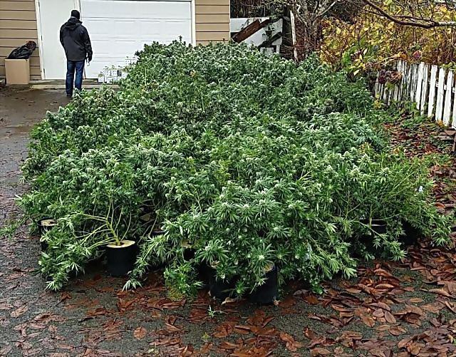 54名中国人在美种大麻被抓 现场缴获缴获3.5万株价值8000多万美元的大麻植物