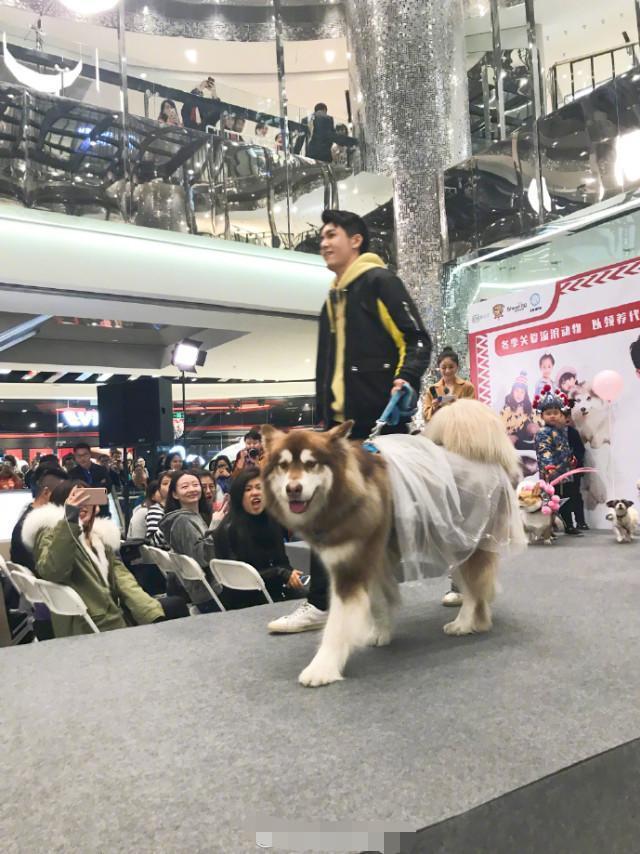王思聪狗穿维密同款走秀 简直就是狗狗中最大的赢家