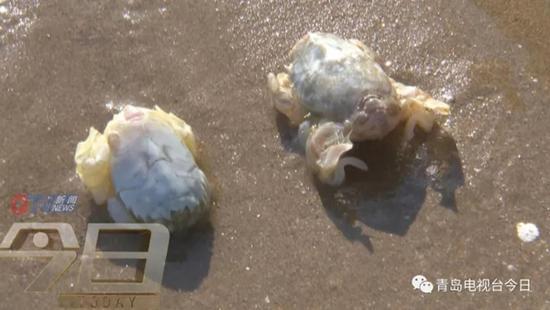 """又一生物要被吃灭绝了 青岛市民组团挖""""海知了"""""""