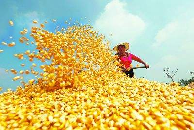 (2017年12月7日)今日各地玉米最新市场价格
