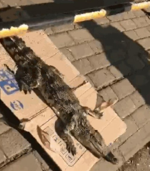 凶猛鳄鱼街头晒太阳 难道是谁家养的宠物跑出来了?