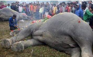 大象触电身亡 民众为其撒花哀悼