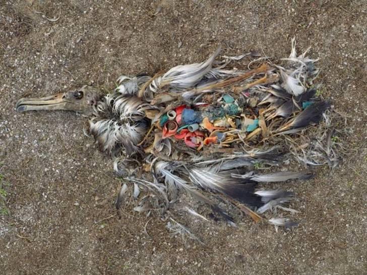 中途岛沙滩上躺着一具因误食人类塑料制品而死亡的信天翁尸体
