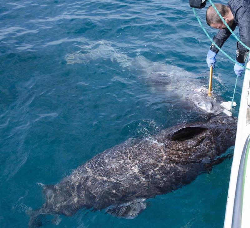 科学家发现最长寿鲨鱼 或已活了512岁