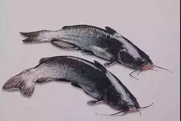 上万斤鮰鱼滞销 市委书记朋友圈转载求帮助
