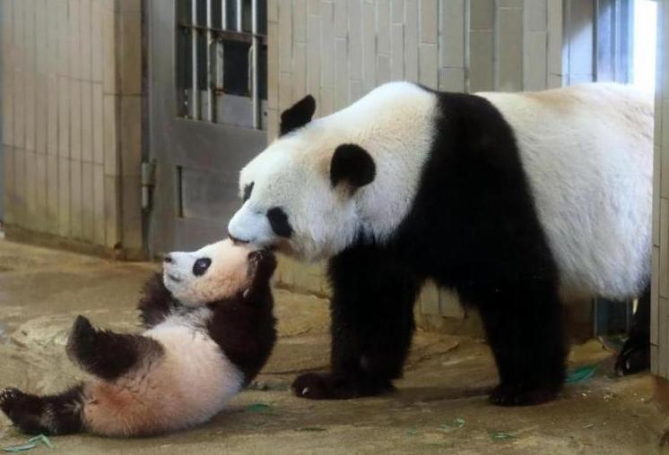 日本为熊猫建豪宅